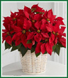 The traditional holiday blooming plant, a Christmas Poinsettia, with its dark leaves and deep red flowers is the perfect gift for family and friends.
