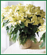 The elegant winter white poinsettia is a lovely variation to a classic holiday gift.
